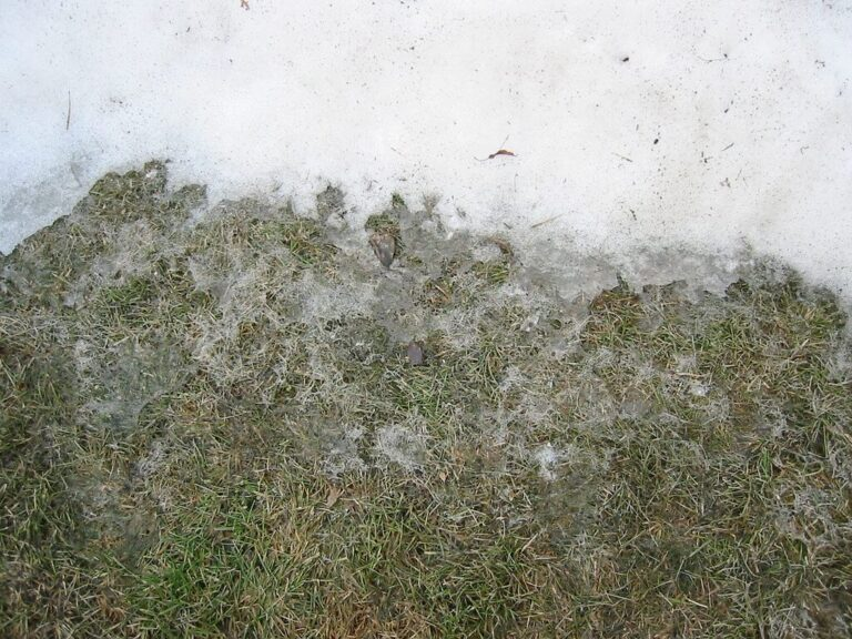 What is Snow Mold? – How to Identify and Treat This Lawn Disease