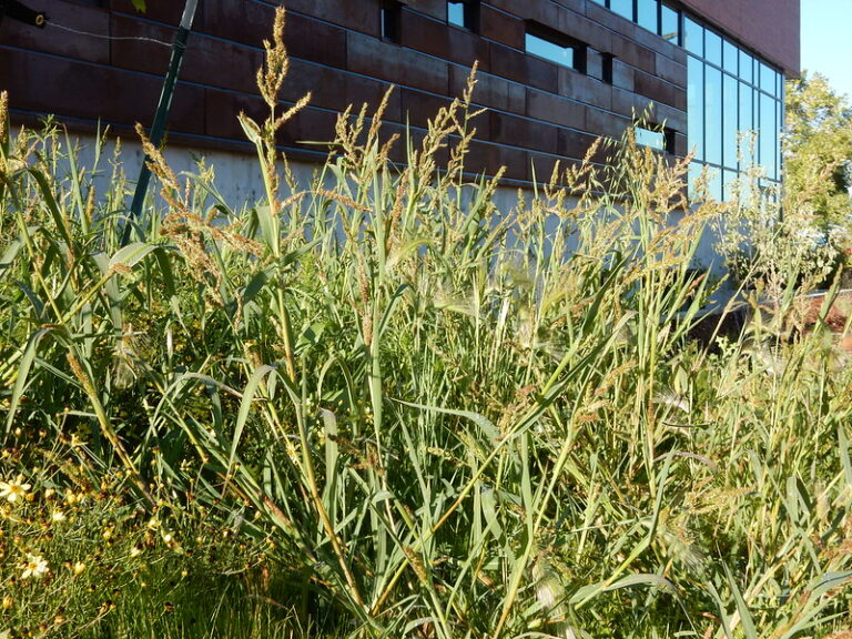 Barnyard Grasses | How to Identify and Manage This Lawn Weed