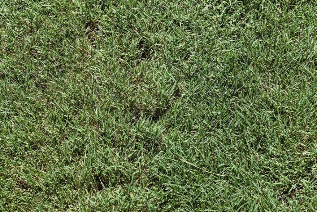 bentgrass - what kind of grass do i have?